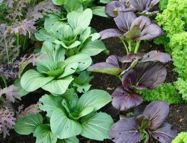 Biezo lapu salāti un Kāpostsalāti