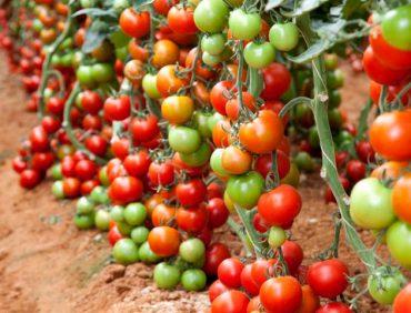 Kāpēc tomāti līdz galam nenogatavojas?