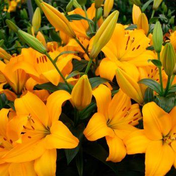 Lilijas ar koši dzelteniem ziediem puķu dobē