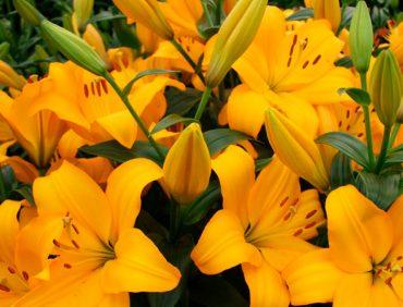 Beau Soleil (Garziedu-Āzijas lilijas hibrīds) 1,50 EUR / gab.