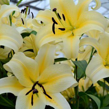 Lilijas ar lieliem, viegli dzelteniem ziediem