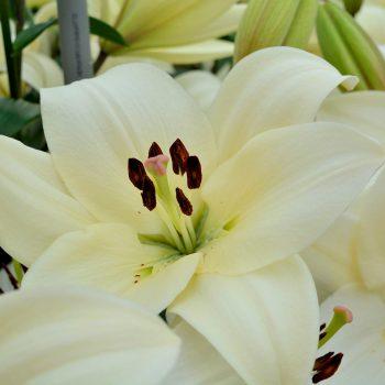 Garziedu āzijas lilijas Litouwen zieds tuvplānā