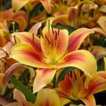 Lilijas ar laškrāsas, persiku, dzelteniem ziediem