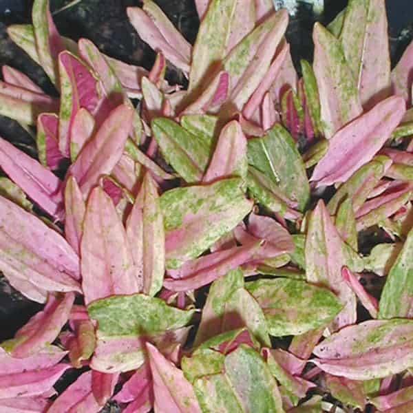 Skābenes ar rozā lapām