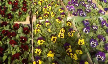 Atraitnītes ar dzelteniem, bordo, zieliem, lillā ziediem