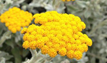 Karijzāles zieds tuvplānā