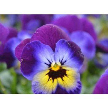 Atraitnītes ar zili dzeltenu ziedu