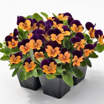 Atraitnītes ar oranži violetiem ziediem