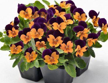 Atraitnītes (sīkziedu) – Twix Orange Purple Wing