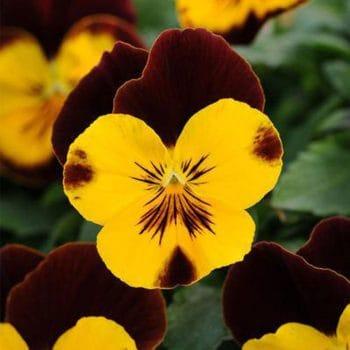Atraitnītes ar zeltaini bordo ziediem