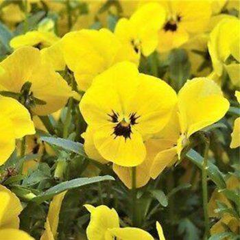 Atraitnītes ar dzelteniem ziediem