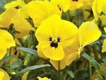Atraitnītes (sīkziedu) – Twix Yellow with Eye