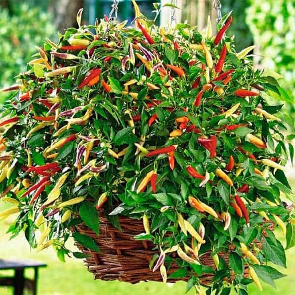 Čili pipari ar intensīvi sarkanu krāsu un ugunīgu garšu