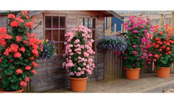Kāpelējošās pelargonijas podos ar rozā un sarkaniem ziediem