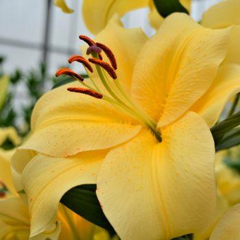 Orientālās trompešu lilijas ar dzelteniem ziediem