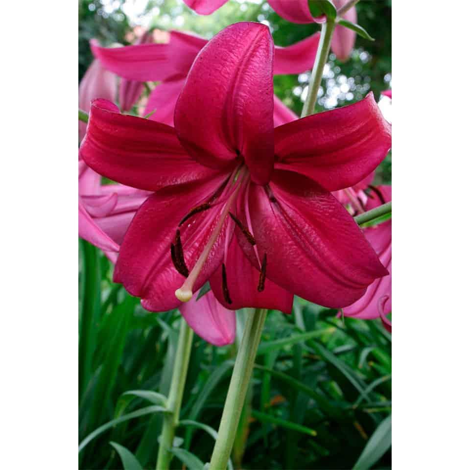 Garziedu Āzijas lilijas Purple Marble zieds tuvplānā