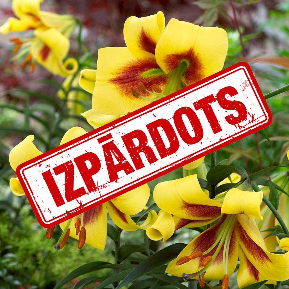 Orientālās trompešu lilijas Robert Swanson ziedi tuvplānā