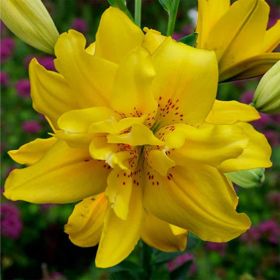 Fata Morgana āzijas lilijas zieds tuvplānā