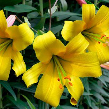 Golden Splendour tīģerlilijas zieds tuvplānā