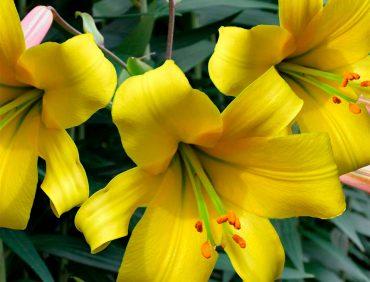 Golden Splendour (trompetlilijas) 2,50 EUR/gab.