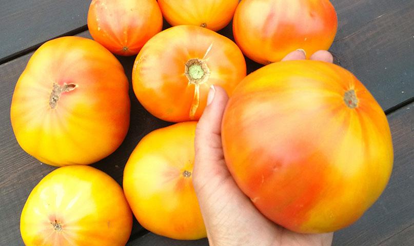 Populārākās tomātu šķirnes, kas katru gadu tiek stādītas Zutiņu siltumnīcās