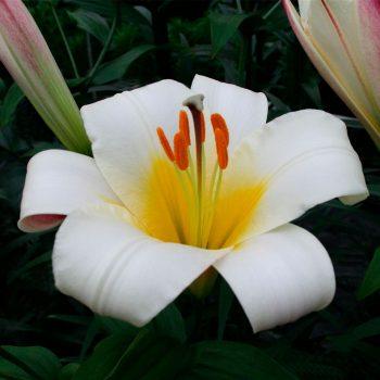 White planet lilijas zieds tuvplānā
