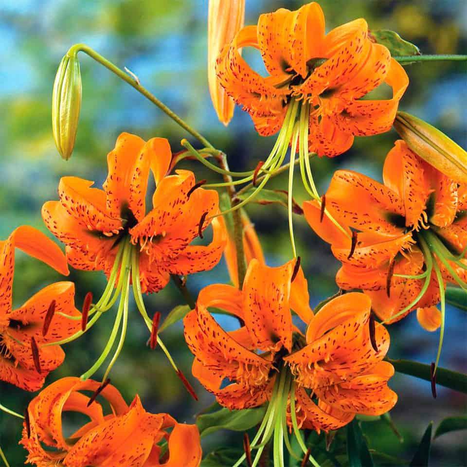 Henry lilijas ziedi tuvplānā