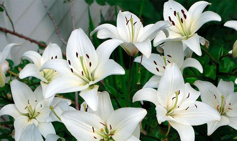 Kas ir Baznīcas Lilijas jeb Madonnas lilijas?