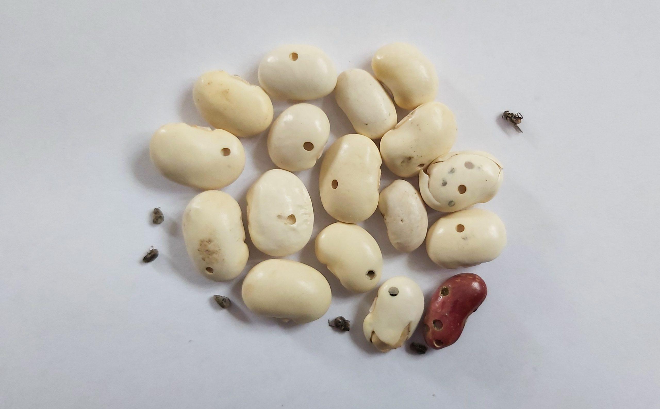 Dārza Pupiņu sēklgrauzis – Acanthoscelides obtectus