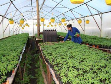 Hibrīdie tomāti – vai tie piemēroti stādu audzēšanai uz palodzes?