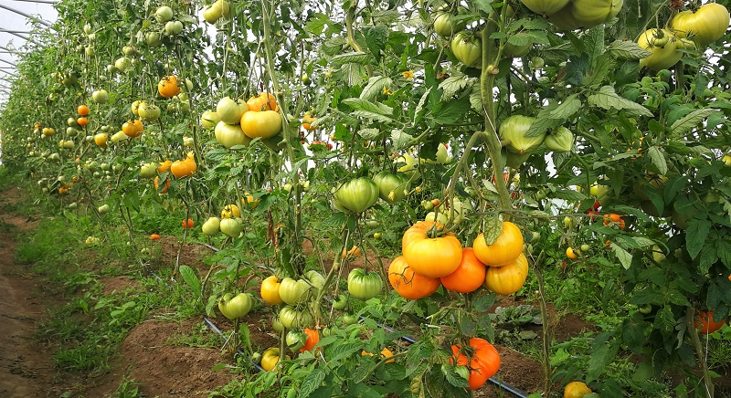 hibridu tomatu skirnes zutini