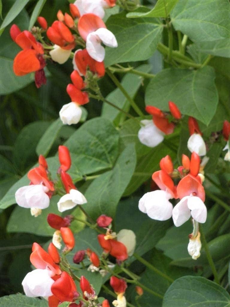 karsu pupas painted lady ziedi