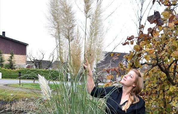 Pampu zāle – dārza rota un izaicinājums dārzkopim