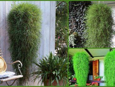 Ložņu smilga jeb nokarenais bambuss – audzēšanas īpatnības