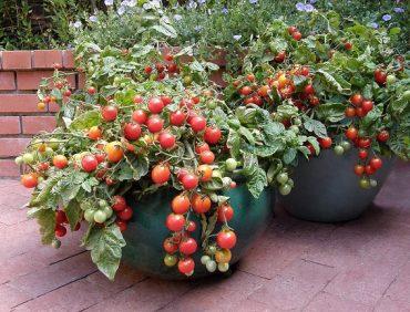 Balkona tomāti jeb rūķīšu tomāti – terasēm un pilsētas dārziem