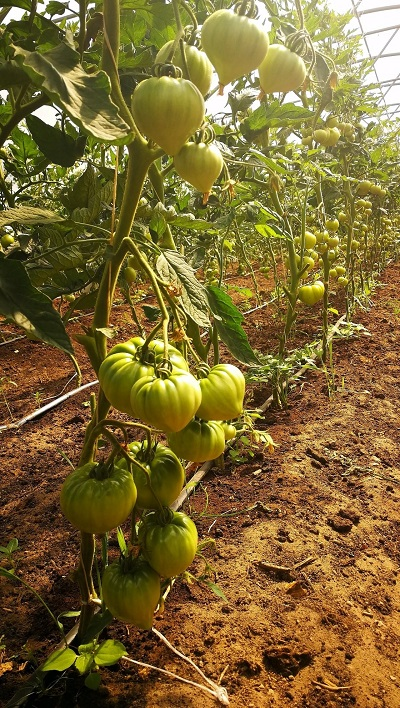 tomātu šķirnes gourmandia