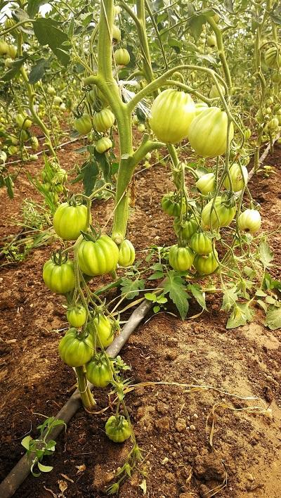 tomātu šķirne Aurea f1