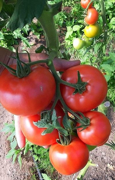 tomātu šķirnes