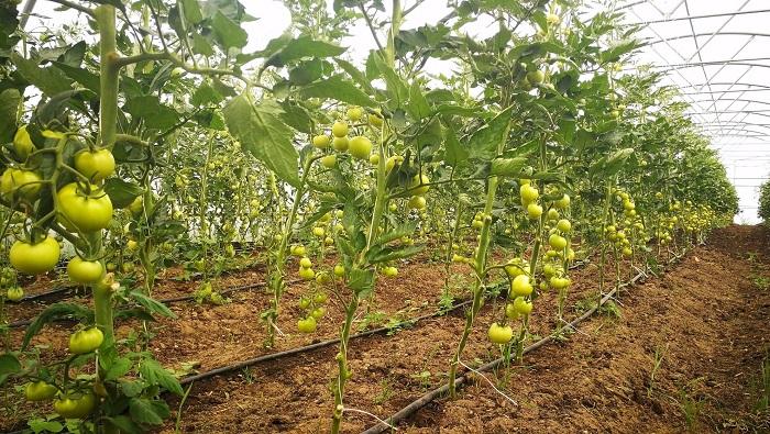 tomātu šķirnes kwintella