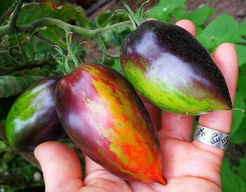 Gargamel tomātu šķirne – galaktiski melno augļu tomāts
